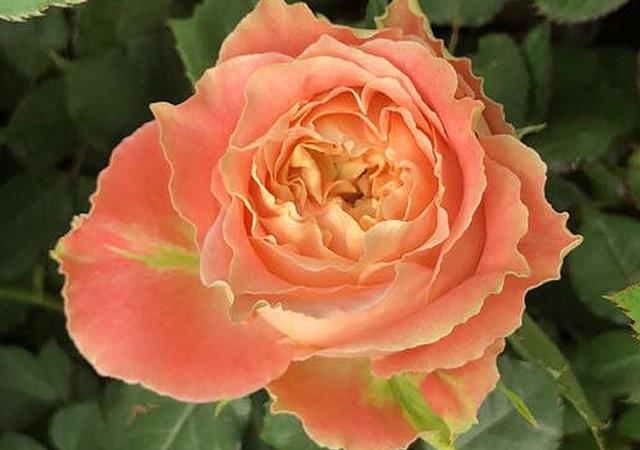 Alani Gardens - Louise ©