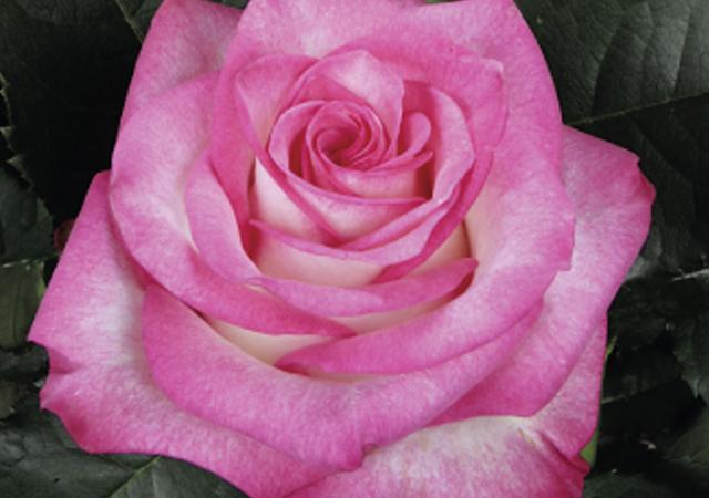 Alani Gardens - Pink Paloma ©