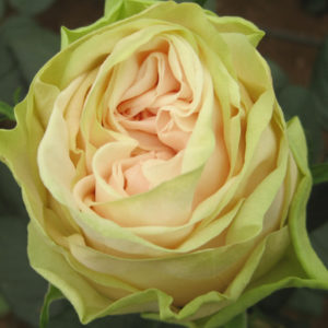 Alani Gardens - Wedding Rose ©
