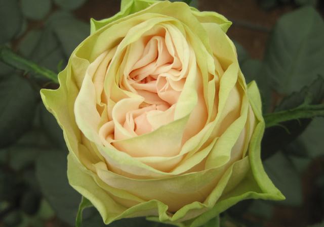 Alani Gardens - Wedding Rose ©