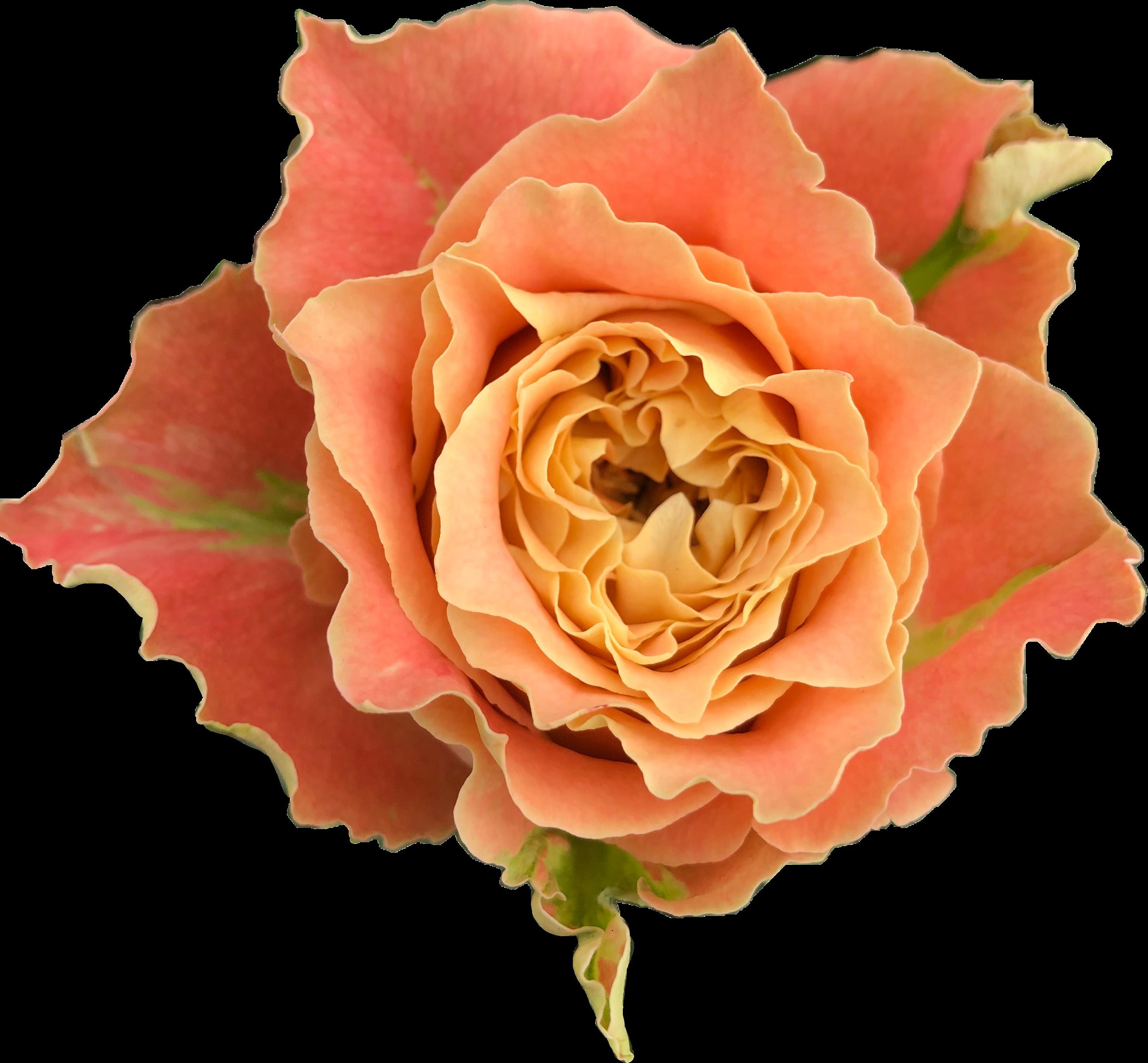 Alani Gardens - Louise