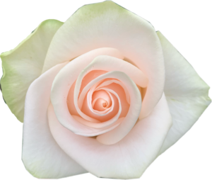Alani Gardens - Wedding Rose